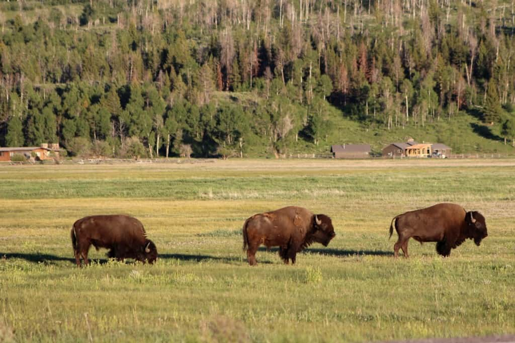 Bison grazing alongside the road in the Grand Teton National Park