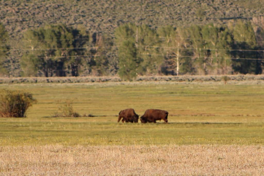 Two bull bison fighting
