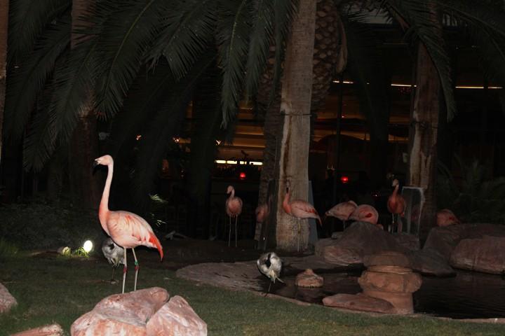 Flamingos in the wildlife habitat at the Flamingo in Las Vegas