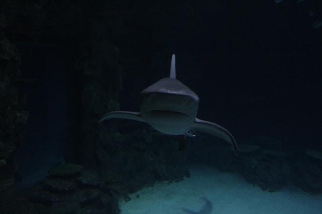 Shark at the Mandalay Bay Shark Reef Las Vegas
