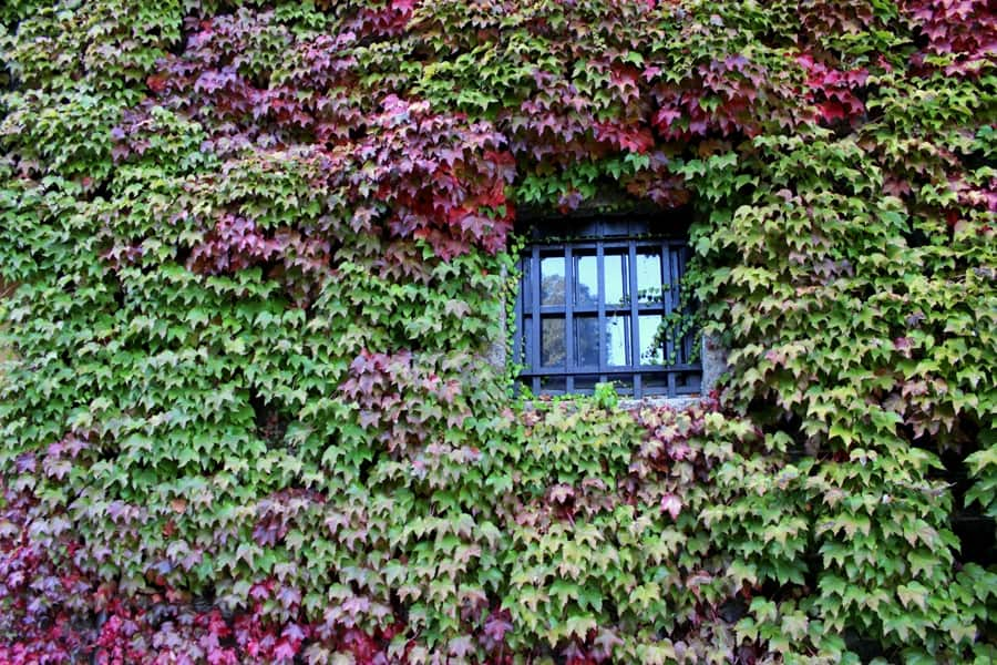 vines and a window
