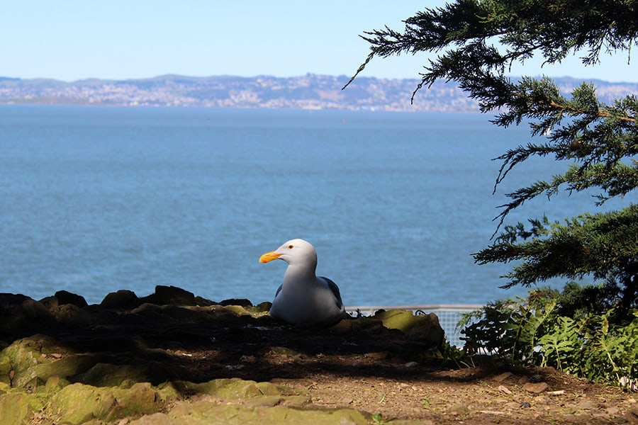 Seagull on Alcatraz Island