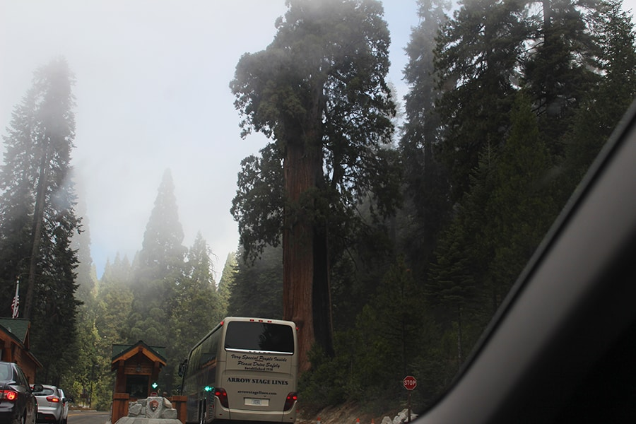 Bus and Sequoia tree