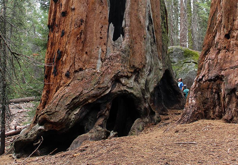 Can you spot the two men standing beside this giant sequoia?