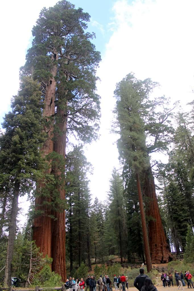 General Grant parking lot sequoia trees