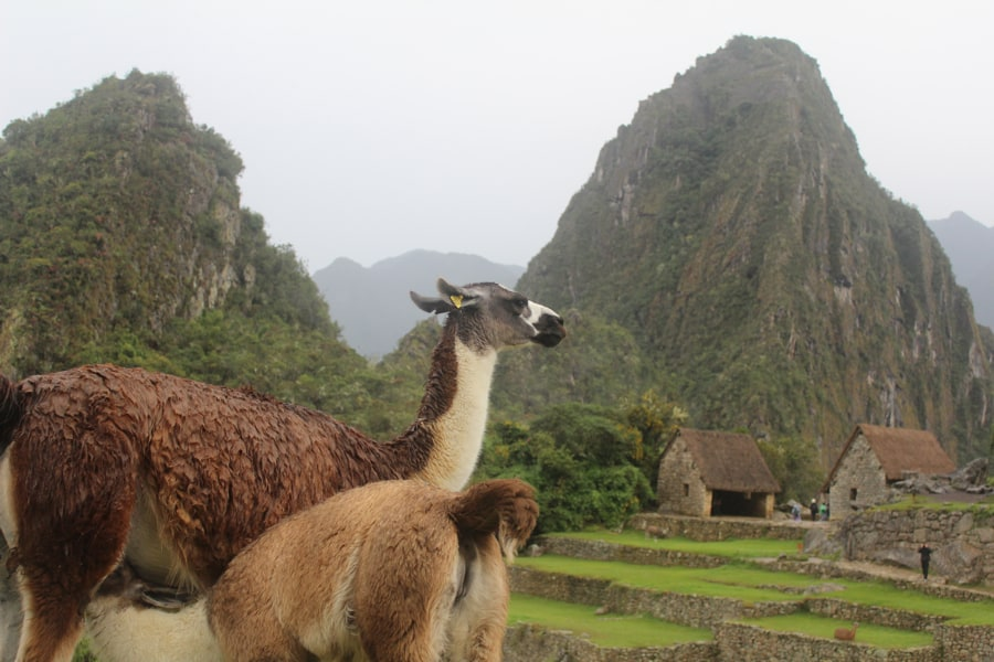 Baby llama and mother llama at Machu Picchu
