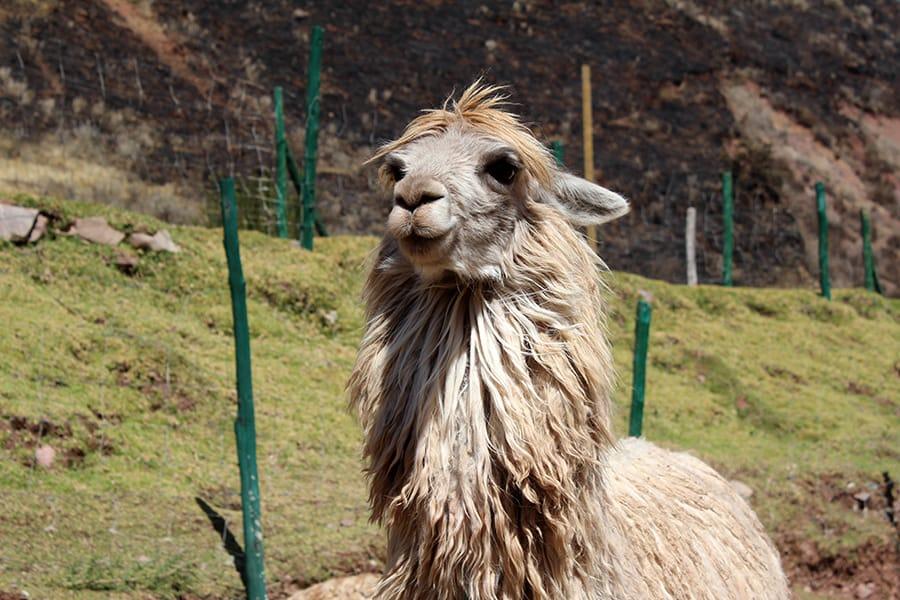 alpaca 4