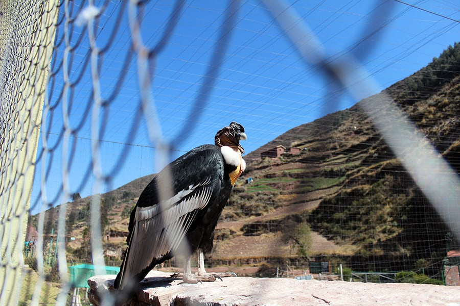 A male Andean Condor in an animal sanctuary