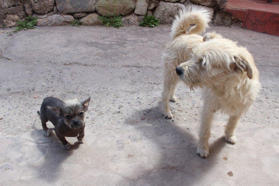 Peruvian hairless dog puppy next to regular dog