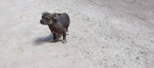 Peruvian Hairless Dog Puppy Peru
