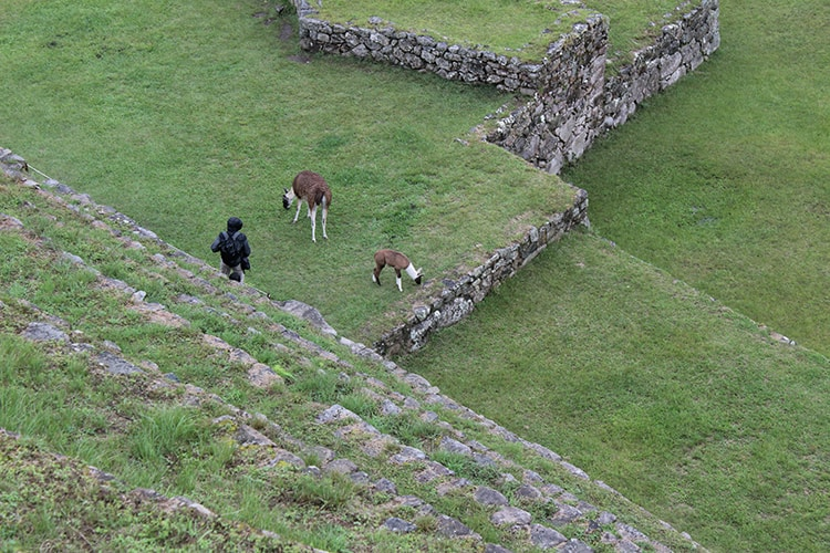 Two llamas and a tourist at Machu Picchu