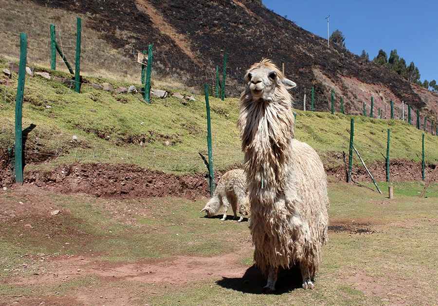 Day trips from Cusco - animal sanctuary with alpaca